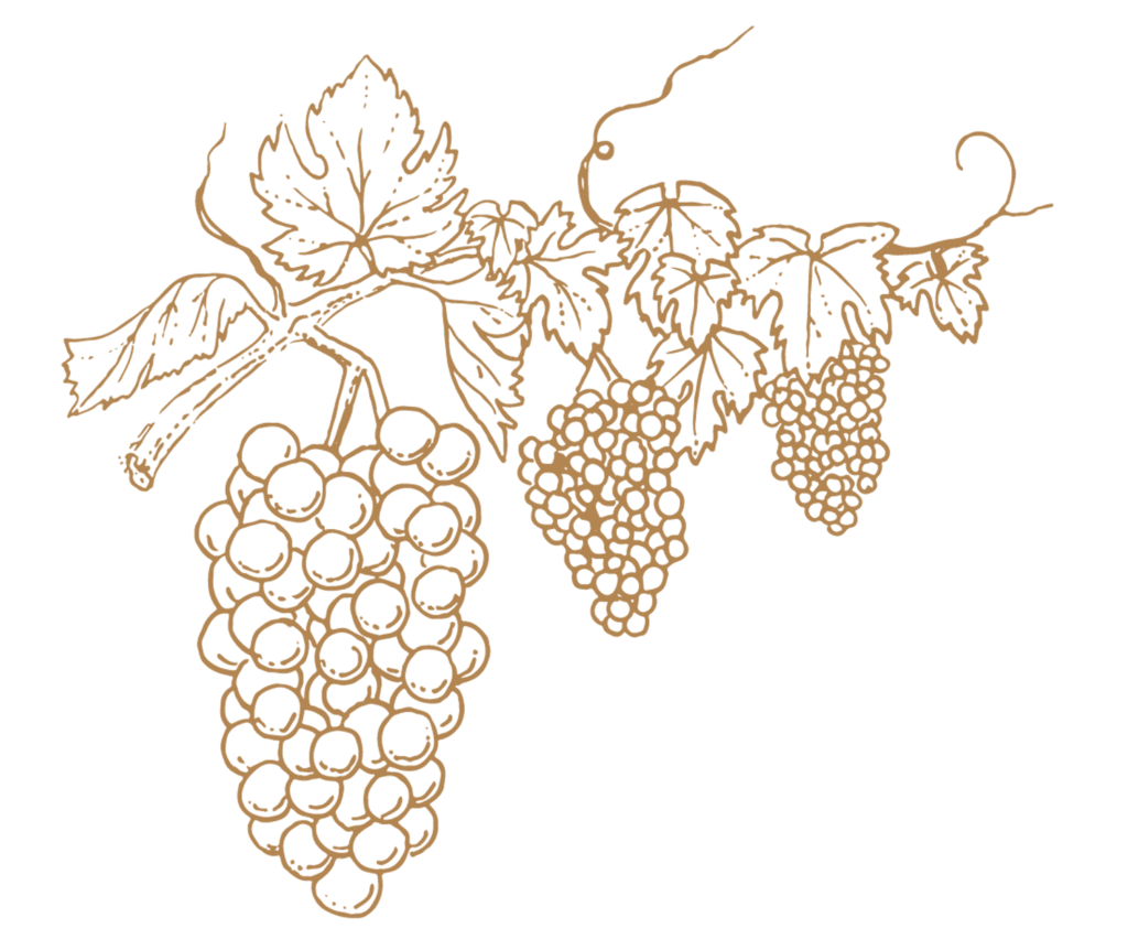 Haute Cabrière Wine Grape Vine Franschhoek Illustration