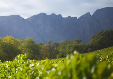 Haute Cabrière Chardonnay Pinot Vineyard