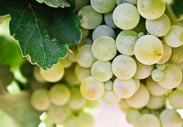 Haute Cabrière Haute Collection Amphora Chardonnay grapes