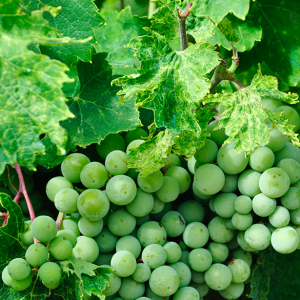 Haute Cabrière Haute Collection Chardonnay Grapes