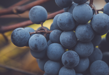 Haute Cabrière Haute Collection Pinot Noir grapes