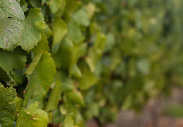 Haute Cabrière Pierre Jourdan Brut grapes