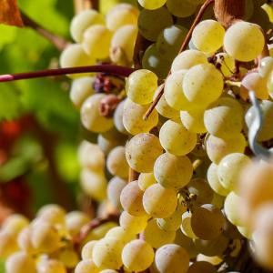 Haute Cabrière Pierre Jourdan Ratafia Grapes